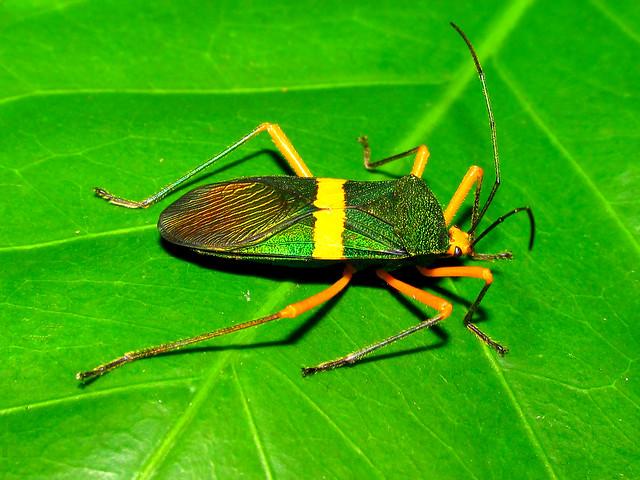 Green metallic coreid bug Paryphes flavocinctus (Hemiptera:Coreidae)