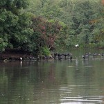 Kormorane (Phalacrocorax carbo) an der Insel im Ümminger See