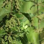 Weibliches Grünes Heupferd (Tettigonia viridissima) in der Heisinger Ruhraue