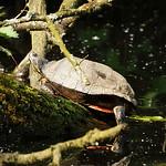 Gelbbauch-Schmuckschildkröte (Yellow-bellied Slider, Trachemys scripta scripta) in der Heisinger Ruhraue