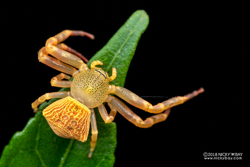 Crab spider (Cyriogonus sp.) - DSC_6793   by nickybay