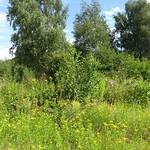 Wiese mit Rainfarn (Tanacetum vulgare) im Gleispark Frintrop