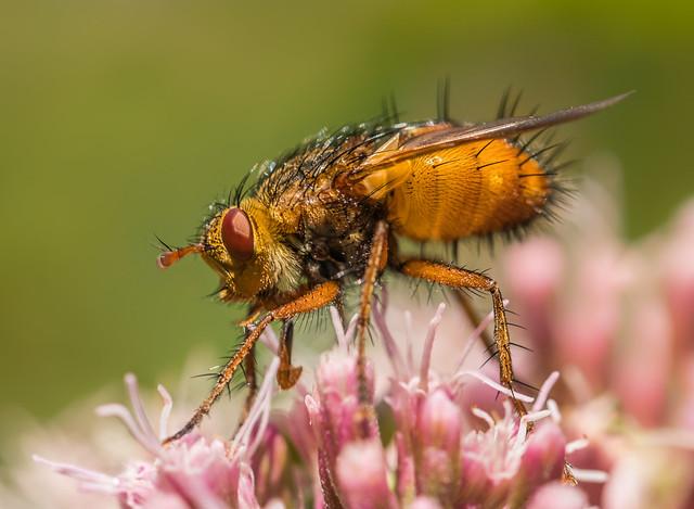 Dung Fly (Scathophaga stercoraria)