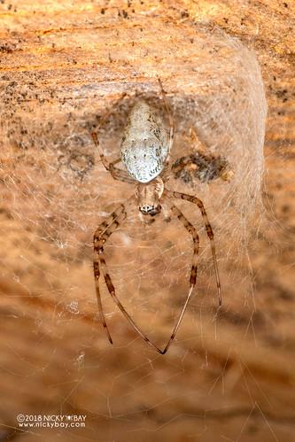 Hermit spider (Nephilingis livida) - DSC_6914 | by nickybay