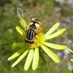Große Sumpfschwebfliege (Large Tiger Hoverfly, Helophilus trivittatus)
