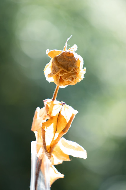 getrocknete weiße Rose