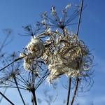 Samen eines Weidenröschens in der Heisinger Ruhraue