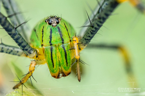Green lynx spider (Peucetia madagascariensis) - DSC_7254 | by nickybay