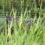 Nutria (Myocastor coypus) in der Rheinaue Walsum