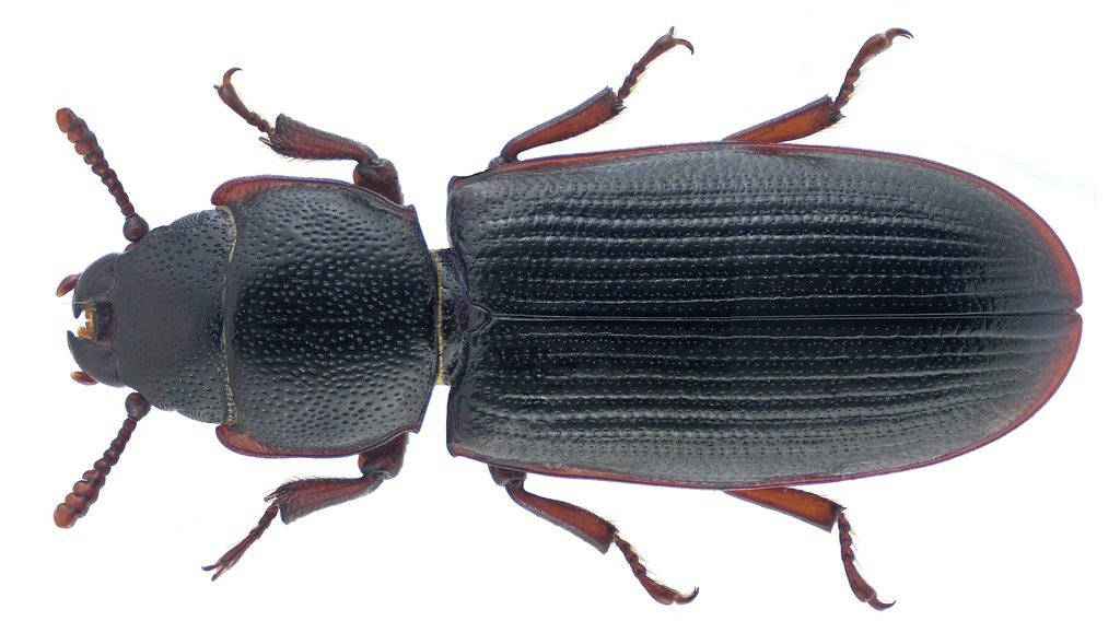 Tenebroides fuscus (Goeze, 1777)