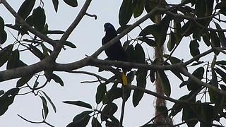 Black Oropendola Psarocolius guatimozinusB