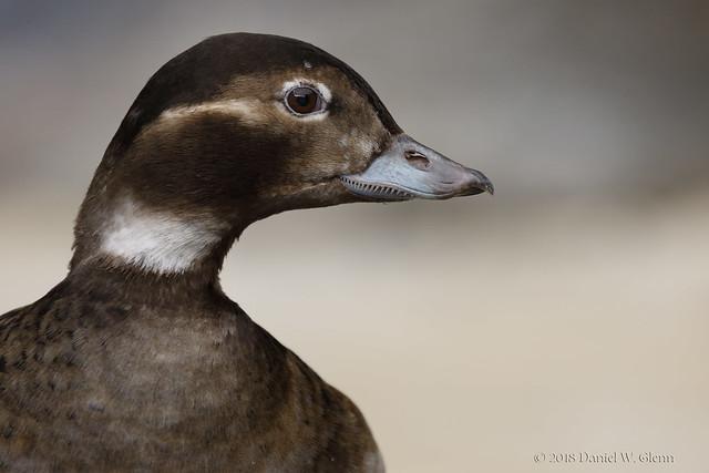 Portrait of a Long-tailed Duck (hen - breeding)