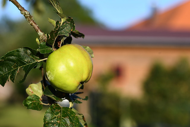 Apple on a low-hanging branch