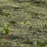 Teichfrosch (Pelophylax esculentus) in der Walsumer Rheinaue