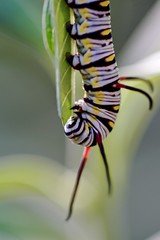 queen butterfly larva