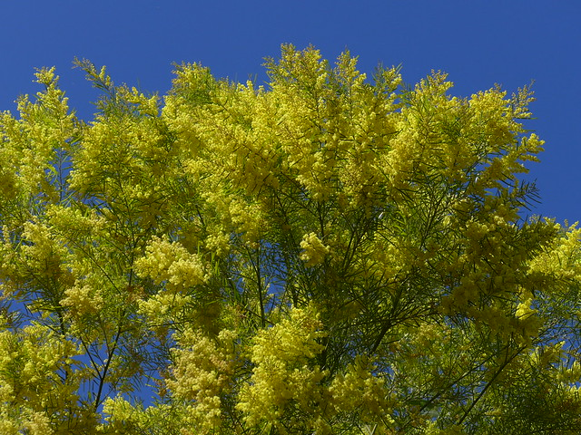Brilliant yellow flowers of Brisbane Wattle (Acacia fimbriata)