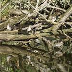 Krickenten (Anas crecca) in der Heisinger Ruhraue