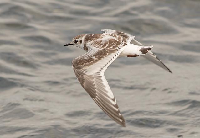 DSC0654 Little Gull..