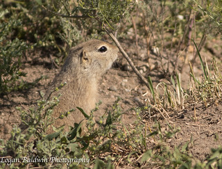 Richardson's ground Squirrel (Lifer!!) | by ZombiesniperJr