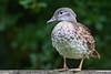 Mandarin Duck, Aix galericulata by Kevin B Agar