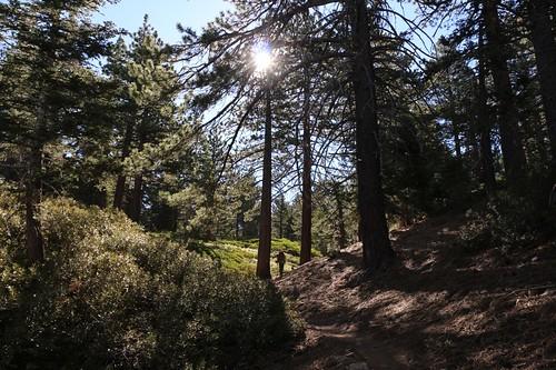 073 Morning light in the tall pine forest on the San Bernardino Peak Trail | by _JFR_