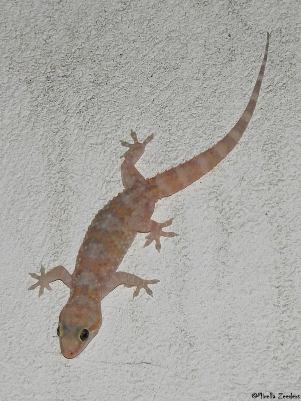 Mediterranean House Gecko Hemidactylus Turcicus A Bit Pi Flickr