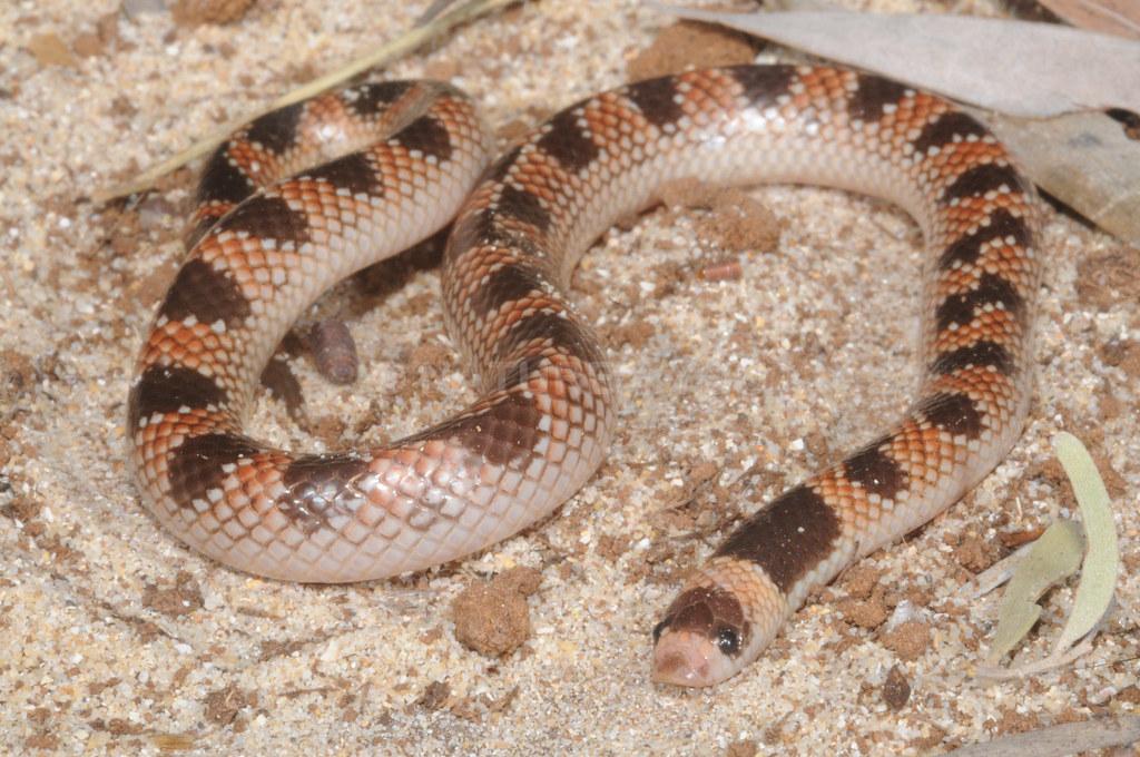 Brachyurophis campbelli, Almaden area