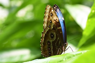 Morpho butterfly at rest (don't be shy, show your colors) | by DanCentury