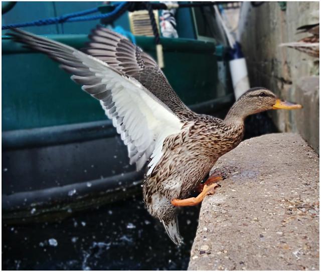 Mallard duck on keyside
