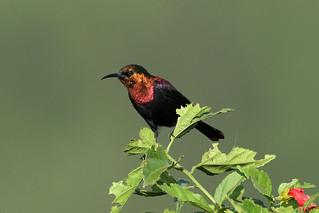 Cinnyris cupreus ♂ (Copper Sunbird) - Isunga, Uganda.