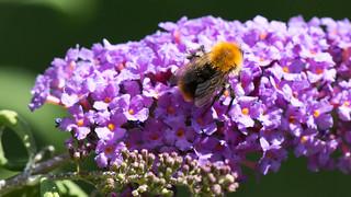 Bumblebee   by photopixels.de