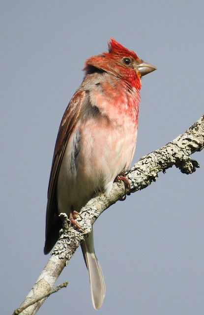 Common Rosefinch ♂ (Carpodacus erythrinus)