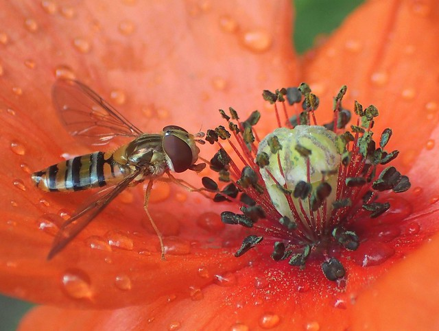 Orange. Marmalade Hoverfly, Episyrphus balteatus, on Papaver rhoeas, Common Poppy, Hortus Botanicus, Amsterdam, The Netherlands