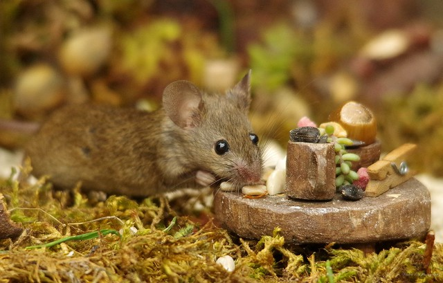 wild garden mouse with table (4)