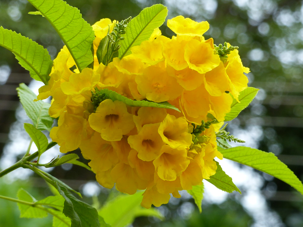 79. yellow flowers in our garden in india   paddu rao   flickr