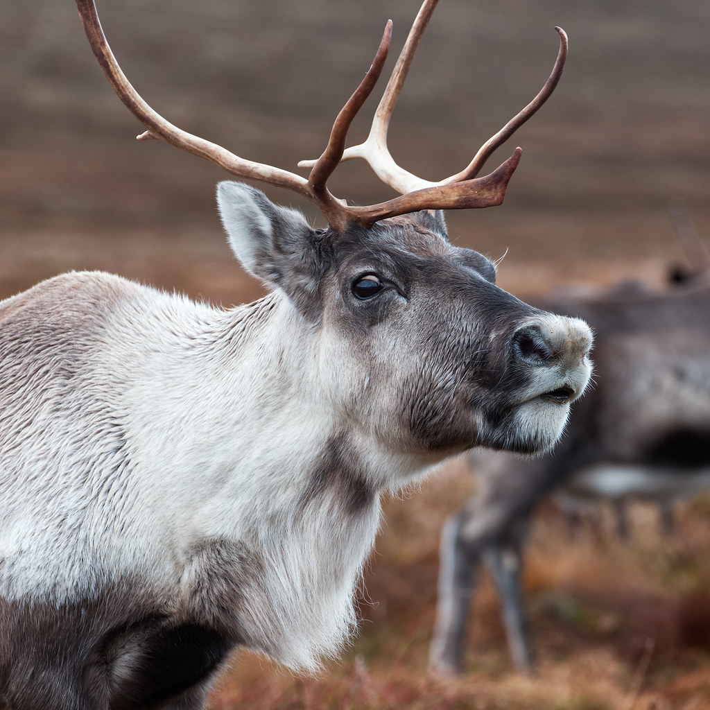 The Cairngorm Reindeer Herd | I really enjoyed my time with