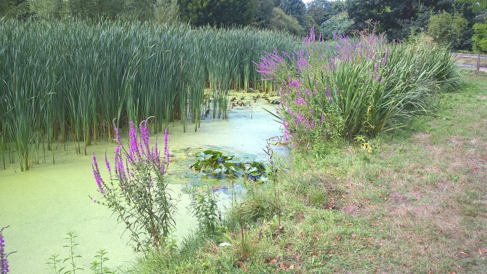 Pond Life on the Manningtree Circular walk
