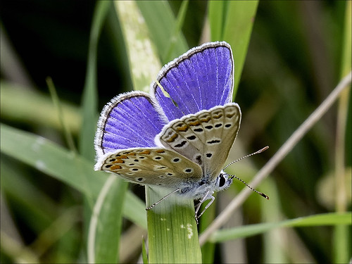 Common Blue   by Ken near Duras