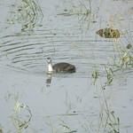 Junger Haubentaucher (Podiceps cristatus) schwimmt auf der Ruhr während des Hochwassers in der Heisinger Ruhraue