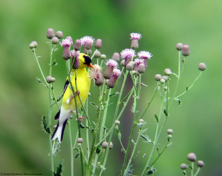 Goldfinch eating thistle | by Laura Erickson