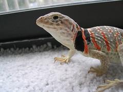 Female Collared Lizard