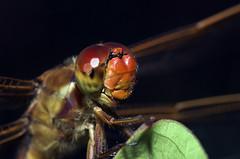 Libellula needhami - closeup