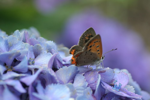 アジサイと蝶