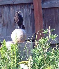 Crow in Kris' Garden