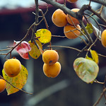 Persimmon fruits in the tree 柿の木