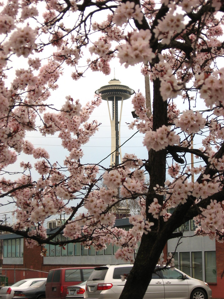 The Space Needle framed by blossoms on the cherry trees on the side of a road.