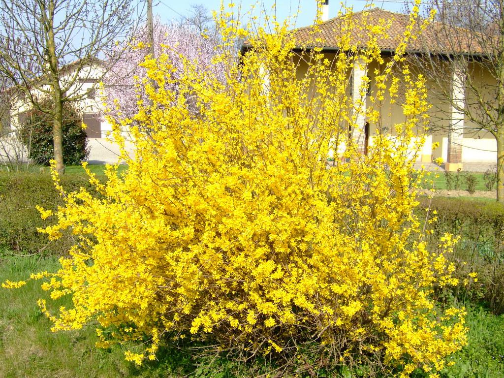 Fiori Gialli Cespuglio.Cespuglio Giallo In Fiore Che Giallo Acceso Castefoto Flickr