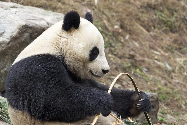 Giant panda, Dujiangyan Panda Base, Shiqiao (Qingchengshan), Dujiangyan, Sichuan, China