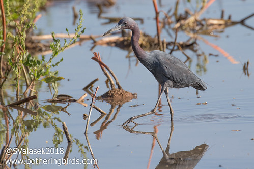 Little Blue Heron | by Bothering Birds