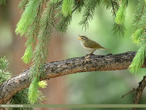 Western Crowned Warbler (Phylloscopus occipitalis) | Flickr  Western Crowned...